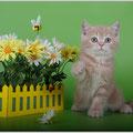 Шотландский котенок , окрас кремовый мраморный
