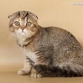 кошка шотландская вислоухая скоттиш фолд черная черепаха  тиккированная