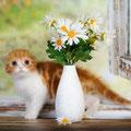 котенок кошка  скоттиш фолд красный биколор