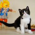 Котенок кот скоттиш страйт черный биколор