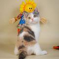 Кошка скоттиш страйт, окрас калико осветленный