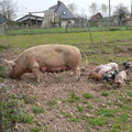 ferme pédagogique les paturtes orvaux cochons