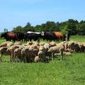 les troupeaux brebis vaches