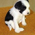 Rüde 2schwarze Ohren 05_5 Woche_E-Wurf of Dog's Wisdom