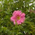 'Eine Rose fûr Jérôme' Obtention Creamelarosa