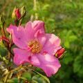'Mela Rosa' Obtention Creamelarosa