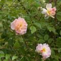 'Rosée de Lune'   Obtention Créamelarosa