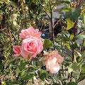 Rosen aus Stahringen