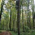 und endlich wieder Buchenwald! Die Schwarzwaldtannen hingen mir schon zum Halse raus.