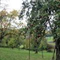 Es gibt hier viele Apfelbäume