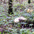 dieser Pilz hat 50cm Durchmesser. Alle Achtung!