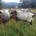 Schafe auf dem Hochkopf