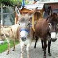 meine 3 Eselchen gleich nach der Ankunft, 05.2009