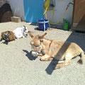 Ziegen & Esel beim Sonnen 06.2009