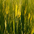 201205-Getreide grün