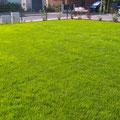 Rollrasen verlegen; Rasen nach ca. 3 Wochen, GreenFairway e.K.
