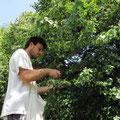 Cueillette des fleurs de tilleul au bord de la Vézère