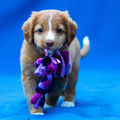 Crazy fox Ruby of Sunshine Tollers