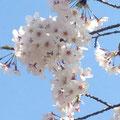 2014年 鎌倉八幡宮で撮った桜