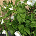 2014年 白いやまぶきの花