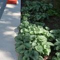Schattenpflanzung am Gebäude