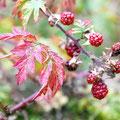 Herbst Brombeeren Laub