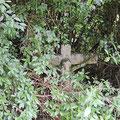 Pluwig. Altes Konderkreuz. Nur wenn man das Gestrüpp zur Seite schiebt wird das Kreuz sichtbar. (Ansicht vom Pfarrgarten aus.)