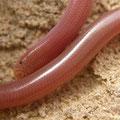 Wormslang (Typhlops vermicularis)