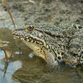 Levant Water Frog (Pelophylax bedriagae), Dalyan, Turkey, July 2009