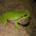 Tyrrhenian Tree Frog (Hyla sarda) calling male, Sardinia, Italy, April 2011