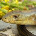 Scheltopusik (Pseudopus apodus).