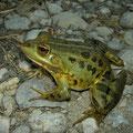 Albanian Pool Frog (Pelophylax shqipericus), Skadarsko Jezero, Montenegro, July 2012