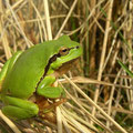Common Tree Frog (Hyla arborea), Amsterdamse waterleidingduinen, the Netherlands,