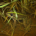 Iberian Water Frog (Pelophylax perezi), Grandola, Portugal, February 2016