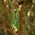 Eastern Tree Frog (Hyla orientalis), Samos, Greece, October 2009