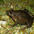Iberian Painted Frog (Discoglossus galganoi), Galicia, Spain, May 2012
