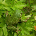 Common Tree Frog (Hyla arborea), Amsterdamse Waterleidingduinen, Netherlands, June 2013