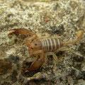Balearenschorpioen (Euscorpius balearicus)