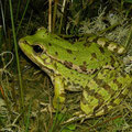 Cretan Water Frog (Pelophylax cretensis), Crete, Greece, August 2012