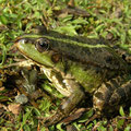 Marsh Frog (Pelophylax ridibundus), Utrecht, the Netherlands, April 2011
