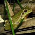 Common Tree Frog (Hyla arborea) male, Fröttmaninger Heide, Germany, May 2014