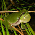Common Tree Frog (Hyla arborea) calling male, Amsterdamse Waterleidingduinen, Netherlands, June 2013