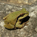 Eastern Tree Frog (Hyla orientalis), Dalyan, Turkey, February 2012