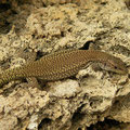 Moroccan Rock Lizard (Scelarcis perspicillata), Menorca, Spain, October 2010
