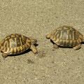 Griekse landschildpadden (Testudo hermanni), paarpoging op de asfaltweg.