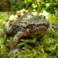 Vroedmeesterpadden mannetje dat een oog mist, zo te zien ondervindt hij er niet al te veel hinder van. Hij is goed doorvoedt en draagt een tros eieren om de achterpoten.