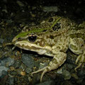 Iberian Water Frog (Pelophylax perezi), Delfia, Spain, August 2010
