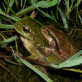 Eastern Tree Frog (Hyla orientalis) amplexus, Camlihemsin, Turkey, April 2015