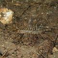 Duizendpoot (Scutigera coleoptrata)