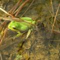Letterlijk overal boomkikkers (Hyla arborea) en geelbuikvuurpadden (Bombina variegata)